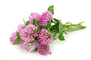 red clover for fertility